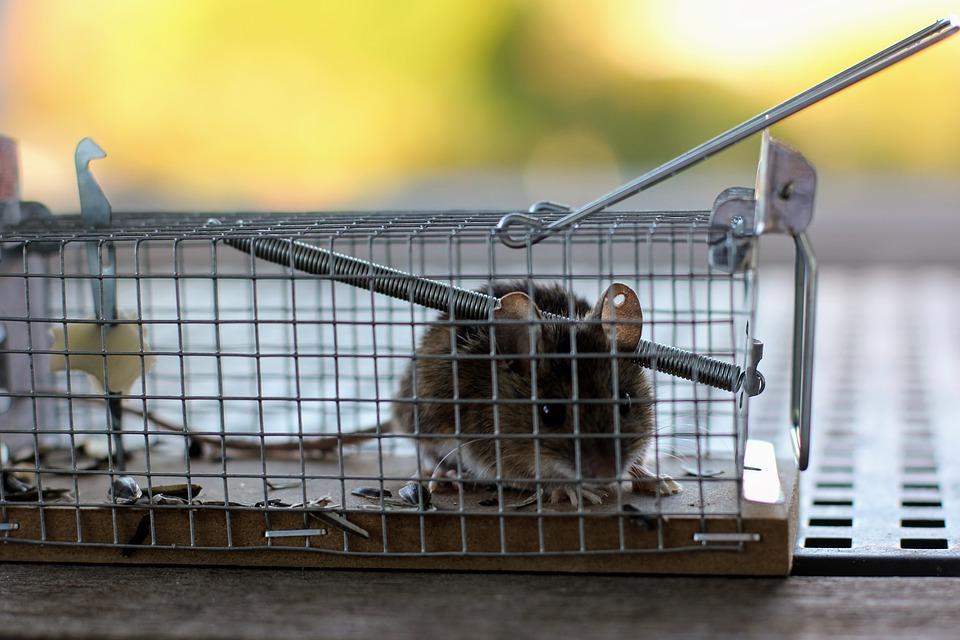 La lutte contre les rats à l'extérieur